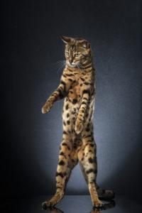 STANDING CATS CHOUKI